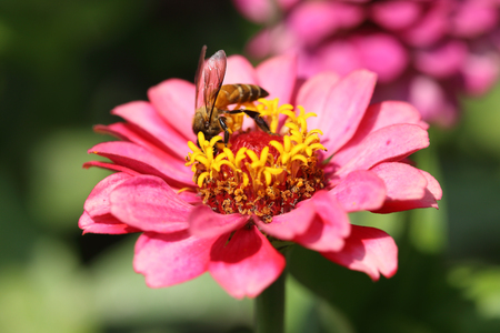 red and pink zinnia flowers and bee photo