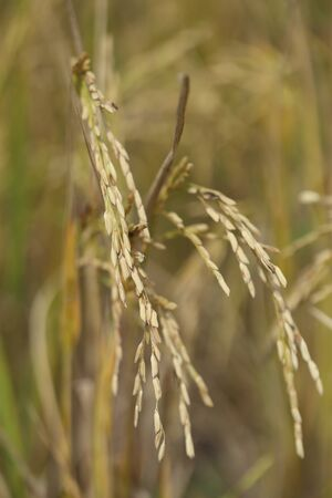 Close up of paddy rice field photo