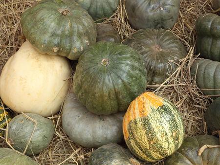 many ripe green pumpkin on straw photo