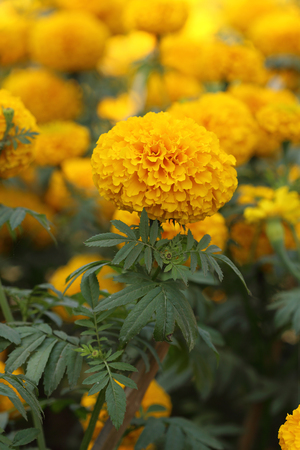 garden marigold: marigold flower in the garden