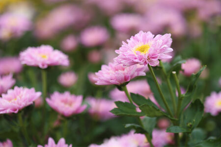 small pink chrysanthemums flowers in the garden photo