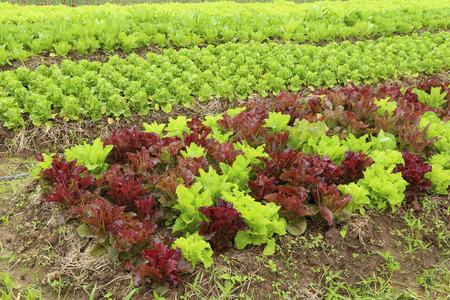 ows: พows of fresh lettuce plants in farm Stock Photo