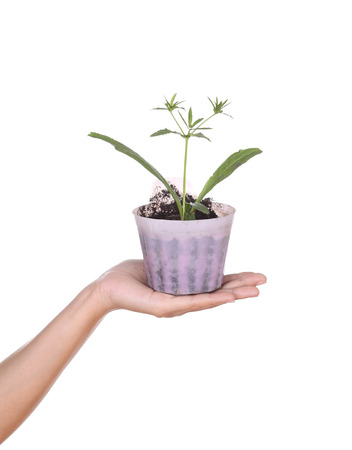 hand with young seedlings of parsley in small pot on white background photo