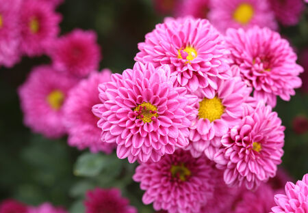 pink chrysanthemums flowers in the garden photo