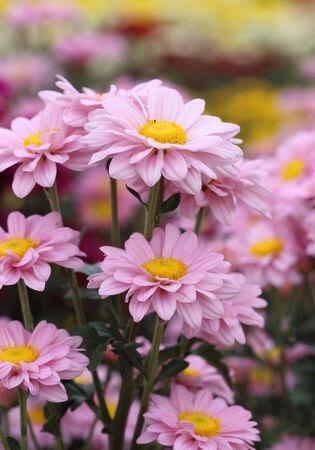pink chrysanthemums flowers in the garden photo