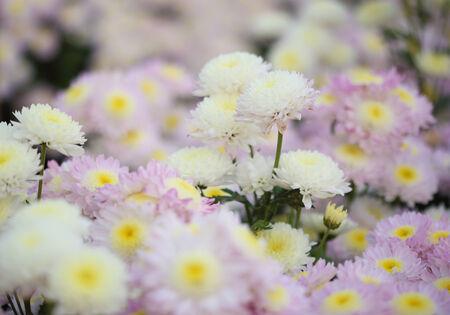 beautiful chrysanthemums flowers in the garden photo