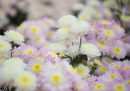 beautiful chrysanthemums flowers in the garden photo