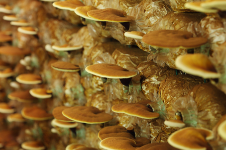 fern  large fern: Lingzhi mushrooms  in mushroom farm