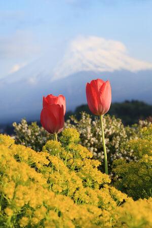 tulip with mount Fuji background, Lake Kawaguchiko, Japan photo