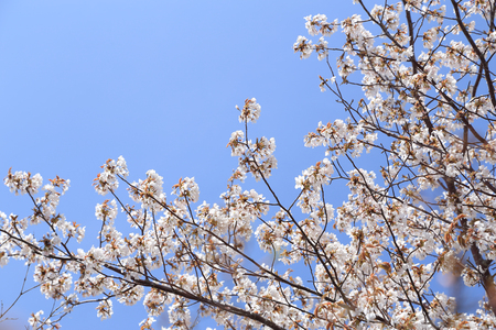 white Sakura flower with blue sky photo