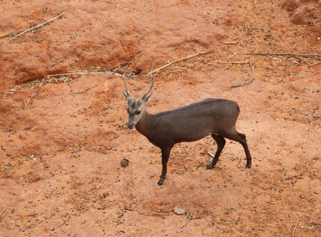 deer standing on the red dry soil photo