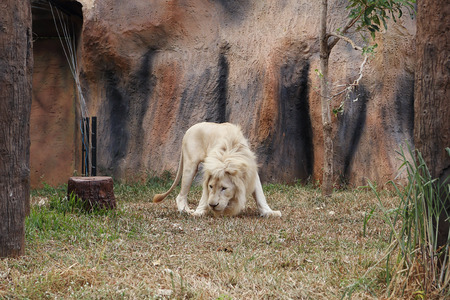 white lion resting in the zoo photo