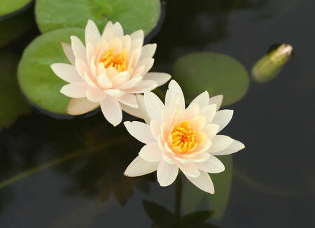 white lotus or water lily in the pond photo