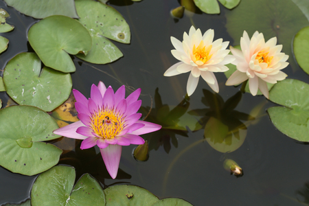 pink and white lotus or water lily on the pond photo