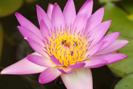 pink lotus or water lily with bee  photo
