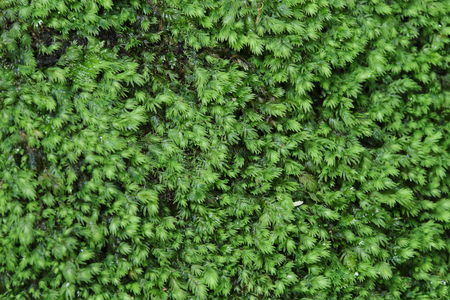 backgruond: Green moss backgruond close up in the forest Stock Photo