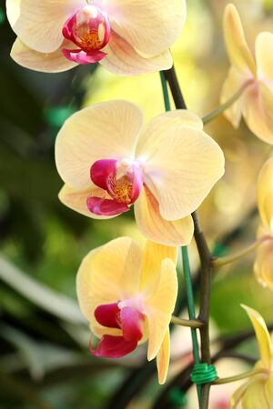 orchidea: yellow Phalaenopsis orchid in the orchid garden