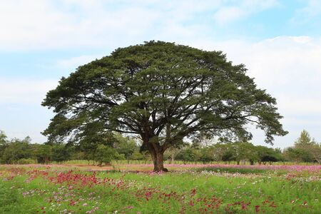 the big rain tree in flower field photo