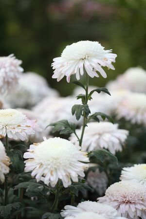 beautiful white chrysanthemums flowers in the garden photo