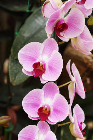 orchidea: pink Phalaenopsis orchid in the orchid garden