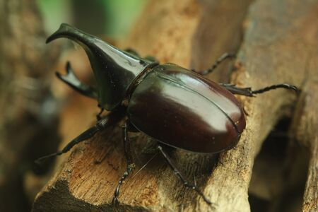 Rhinoceros Beetle on wood in the forest photo