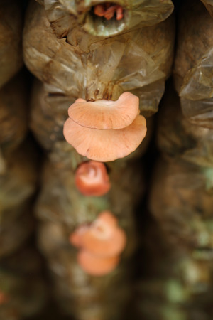 spawn: Pink oyster mushroom (Pleurotus djamor) on spawn bags growing in a farm