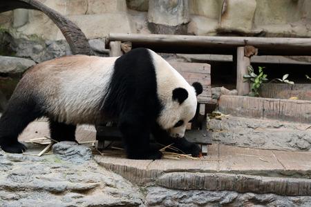 panda bear resting in the zoo photo