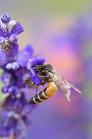 Lavender flower with bee in the garden photo