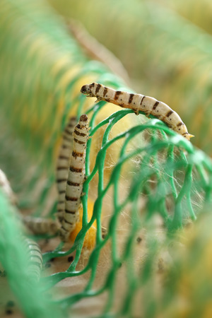 silkworm: close up of silkworm in the farm Stock Photo