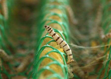 the larvae: close up of silkworm in the farm Stock Photo