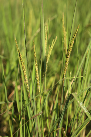 close up of Rice spike in the paddy field photo