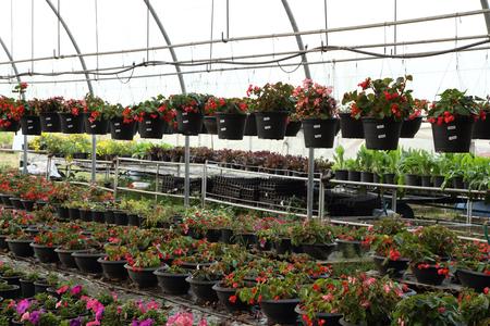 flower nursery: Flower farm nursery in green house
