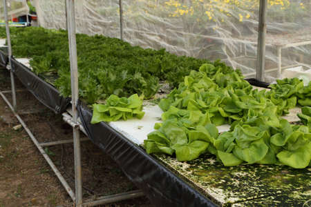 butter head: butter head, cultivation hydroponics green vegetable in farm Stock Photo