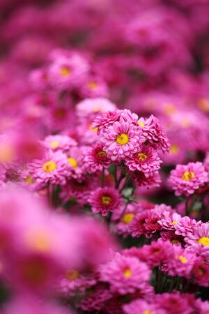 beautiful Chrysanthemum flower blooming in the garden photo