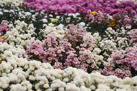beautiful Chrysanthemum flower blooming in the garden photo