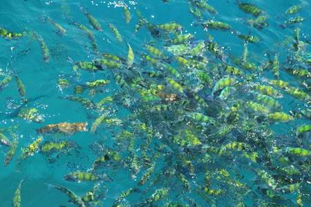 fish(Indo-pacific sergeant)  in a tropical sea at Phi Phi island in Krabi, Thailand