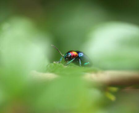 scarabaeidae: A Beetle perched on a plant leaf. Superfamily Scarabaeoidea, Family Scarabaeidae, Subfamily Rutelinae, Tribe Anomalini, Subtribe Popilliin Stock Photo