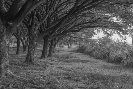 samanea saman: natural grass way with Samanea saman, Big rain tree (black and white) Stock Photo