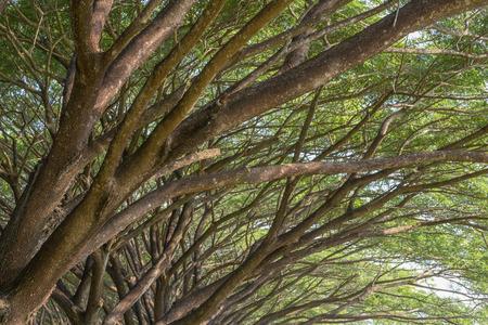 samanea saman: branch of Samanea saman, Big rain tree