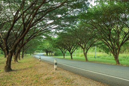 samanea saman: Country road running through with Samanea saman or Big rain tree, Thailand