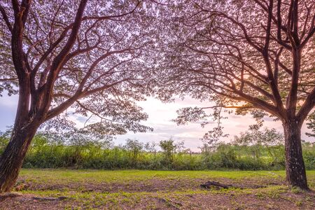 samanea saman: two Samanea saman or Big rain tree at sunset