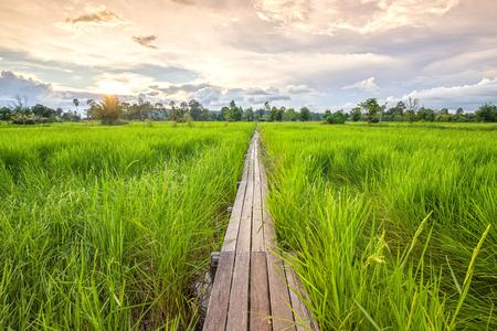 tiefe: 100 Jahre alte Holzbrücke zwischen Reisfeld mit Sonnenlicht bei Khonburi, Nakhon Ratchasima, Thailand