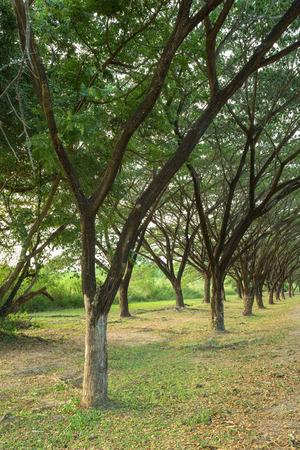 samanea saman: Samanea saman, Big rain tree in the garden