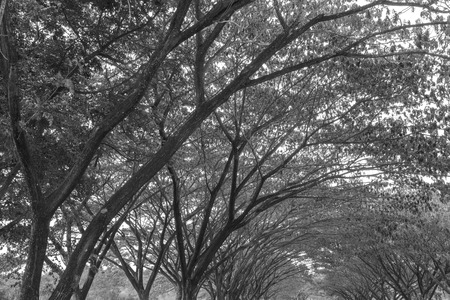 samanea saman: branch of Samanea saman, Big rain tree (black and white) Stock Photo