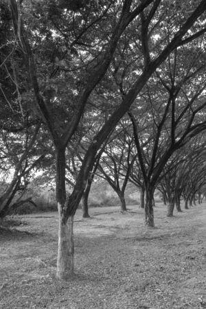 samanea saman: Samanea saman, Big rain tree (black and white) Stock Photo