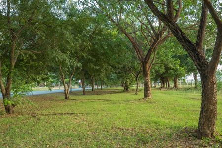 samanea saman: natural grass way with Samanea saman, Big rain tree