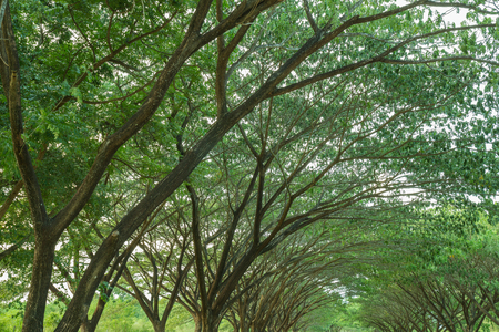samanea saman: the branch of Samanea saman, Big rain tree