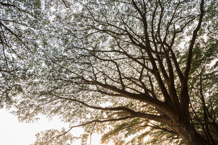 samanea saman: branch of Samanea saman, Big rain tree with sunlight Stock Photo