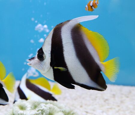 chaetodontidae: colorful Schooling Bannerfish.