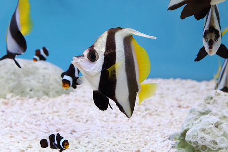 longfin: colorful Schooling Bannerfish. Scientific Name: Heniochus diphreutes, Pennantfish, Pennant Butterfly fish